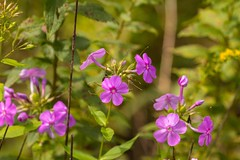7K8A9688 (rpealit) Tags: scenery wildlife nature sparta mountain management area flower phlox