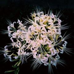 photo (shoji.k) Tags: flower freshness beautyinnature highangleview bunchofflowers eyembestshots  streetphotography mobilephotography iphoneography