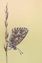 Silbergrne Bluling  Chalkhill Blue Polyommatus coridon (Bluesfreak) Tags: insekten schmetterlinge spessart tagfalter unterfranken silbergrne bluling polyommatuscoridon chalkhillblue lepidoptera butterfly insects