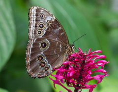 Blue Morpho on Firespike (Explore 12/11/12) (Bob Decker) Tags: