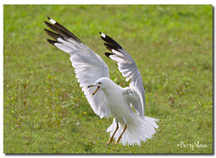 Ring-billed Gull (Betty Vlasiu) Tags: bird nature wildlife gull larus ringbilled delawarensis freedomtosoarlevel1birdphotosonly