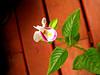 แววมยุรา [Torenia] (som300) Tags: torenia flower plant blossom motorola zn5