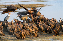 """Vultures and Jackel with kill in Chobe National Park, Botswana • <a style=""""font-size:0.8em;"""" href=""""https://www.flickr.com/photos/21540187@N07/8293293141/"""" target=""""_blank"""">View on Flickr</a>"""