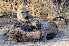 "Spotted Hyena with Cubs in Okavango Delta, Botswana • <a style=""font-size:0.8em;"" href=""https://www.flickr.com/photos/21540187@N07/8293294169/"" target=""_blank"">View on Flickr</a>"