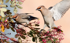 Waxwings - Chilwell