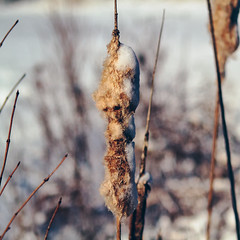 Maybe Next Year? (John Westrock) Tags: snow cold nature wisconsin canon square sticks bokeh sunny fluff depthoffield wi shedding cattail newberlin canoneos7d flickrandroidapp:filter=none