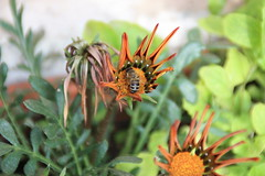 bee helping flower to stay alife (BoOoNeTa<3<3) Tags: flower green home bee kuwait q8