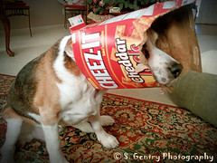 Mirth (SteffaniG) Tags: pets dogs emotion mirth beagles week51