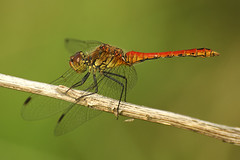 Sympetrum species -Heidelibel (henk.wallays) Tags: man macro male nature up insect close dragonflies dragonfly wildlife species odonata libel erythraea sympetrum libelulle odonate crocothemis heidelibel vuurlibel odonatab