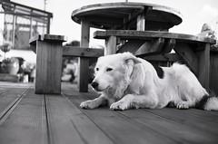 Rintin (1/5/2003~13/12/11) (Timoleon Vieta II) Tags: portrait dog you miss beloved exmoor 2011 timoleon
