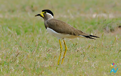 Vanellus malabaricus - Yellow Watted Lapwing (Aravind Venkatraman) Tags: morning india bird birds yellow nikon birding 300mm national lapwing dslr aravind chennai nationalgeographic vanellus malabaricus nikondslr birdsindia indiabirds indianbirds vanellusmalabaricus nikon300mmf4 avphotography d7000 watted nikond7000 chennaibirding siruthavur aravindvenkatraman yellowwattedlapwing