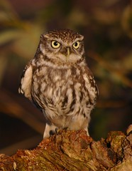 Little Owl (Athene noctua)      Explore 26th Dec # 441 (Col-page) Tags: