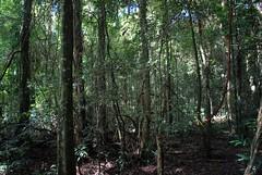Booyong Flora Reserve (dustaway) Tags: plants nature countryside rainforest scenery australia arf nsw northernrivers australianrainforest subtropicalarf