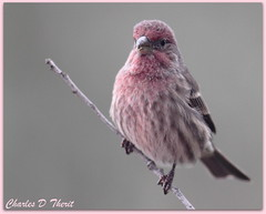 House Finch - Male (ctofcsco) Tags: usa bird canon colorado unitedstates explore coloradosprings 400mm 50d allofnatureswildlifelevel1 allofnatureswildlifelevel2