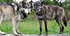 Two Wolves (Eve'sNature) Tags: nature animals wolf wildlife canine canislupus digitalcameraclub