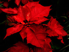 IMG_5843.jpg (fundylad1) Tags: red flower petals poinsettia hennysgarden
