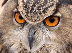 Eurasian Eagle Owl (Bubo Bubo) - Roos-N-More Zoo - Moapa Town, NV (tossmeanote) Tags: orange brown canon eos zoo town desert eagle nevada feathers tan n roos nv more owl 2012 18135 moapa 60d tossmeanote