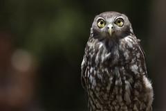 Barking Owl 2012-12-31 (_MG_9394) (ajhaysom) Tags: australia melbourne australianbirds barkingowl ninoxconnivens