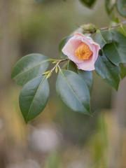 Camellia japonica ' FujinoAkebono ' (Polotaro) Tags: flower nature pen olympus camellia   zuiko ep1     gzuiko50mmf14