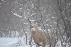 Winter Buck (NatureFreak07) Tags: winter snow animals deer foraging lemoinespoint kingstonon naturefreak07 hnainphotography