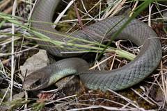 Snake in the grass (Jon Dev) Tags: canada macro snake britishcolumbia reptiles