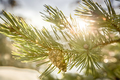 Hope (Pellemolle) Tags: winter sky plants sun sunlight snow tree nature ecology weather closeup pine scenery skies seasons sweden pines environment snowing wintertime scandinavia sunrays environmentalism hdr coniferous ecosystem sunsrays selectivefocus rebro kilsbergen falkasjn rebrocounty