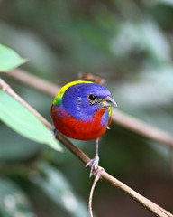 Painted Bunting (mattlev12) Tags: painted bunting