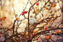 Pudgy (Peggy Collins) Tags: winter orange canada britishcolumbia sparrow pacificnorthwest apples boundarybay textured appletree fruittree crabapples whitecrownedsparrow warmcolors crabappletree birdinatree peggycollins birdinafruittree