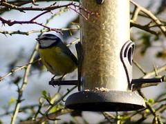 Blue Tit (Rovers number 9) Tags: uk winter england cold nature birds minolta bokeh wildlife sony january lancashire bluetit a65 2013 biggardenbirdwatch euxton minoltaaf100200f45 bkhq sonya65 jan2013
