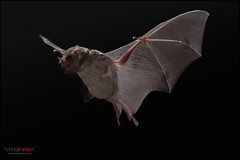 Common Long-tongued Bat