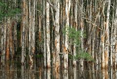 Tuckean Swamp (dustaway) Tags: plants nature water scenery flood australia swamp nsw wetlands treebark australianlandscape melaleuca myrtaceae inundation floodedforest northernrivers paperbarks melaleucaquinquenervia australiantrees broadleavedpaperbark belbowrie coastalfreshwaterswampforest tuckeanswamp tuckeannaturereserve coastalswampforest northcoastbotanicalsubdivision
