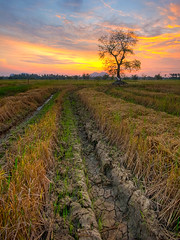 alone.. (TOREX PHOTOGRAPHY) Tags: tree rural sunrise landscape nikon asia village paddy sigma malaysia kampung hdr gettyimages paddyfield sawah perlis d90 torex