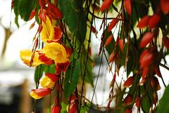 (lincoln koga) Tags: plants flores flower folhas praia nature leaves yellow vertical lago nikon plantas dof bokeh natureza amarelo observe jardim lugares lincoln koi beleza movimento guas passeio peixes carpa criao japons observando koga jardimjapons encontros aprendizado harmonia explorando chamado admirao suavidade contemplao d80 pedaosdemim expressando movimentocongelado aguardo boicucanga euvejo lincolnkoga novosrumos euencontro meutempo lincolnseijikoga novoslugares meumomento refgiosecreto silncioreflexivo tempodesilncio meusencontros voudescobrindo vouexplorando ofertadeamor teentrego nossoviver tudoemmim aguardoporvoc