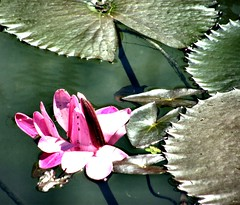 DSCF7780 (Marcia Rosa ()) Tags: pink plant flower verde green planta nature water fleur gua leaf natureza flor folha marciarosa