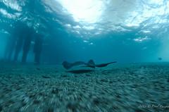 DSC_8070 (eputigna) Tags: ocean blue beach water mar fishing nikon florida palm atlantic tokina freediving housing fl breathe pesca hold apnea ocano submarina 1017mm subaquea d7000 nauticam