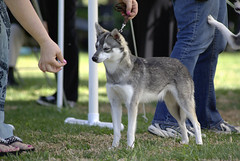 Pipo (Alexandra Kimbrough) Tags: show dog toy miniature husky pentax huskies event kai klee alaskan ukc conformation akk