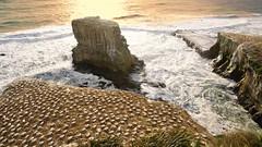 Gannet colony at Muriwai, North Island, New Zealand (PsJeremy) Tags: newzealand muriwai gannet colony