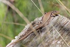 Schulterblick (svensonkra26) Tags: mauereidechse outdoor steinbruch reptil rheinsiegkreis eidechse nrw naturschutz