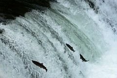 Run-up of Masu Salmon @ Sakuranotaki Waterfalls, Hokkaido, Japan (Yuki--chan) Tags: