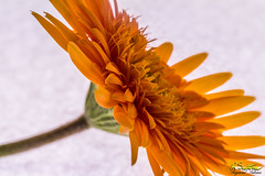 HiKeyOrangeGerberaBlend.jpg (raysul) Tags: closeup beautyinmacro flower gerbera macro flowerphotography floralart decorative depthoffield