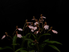 Habenaria erichmichelii (Rusty Exotics Orchids) Tags: habenaria rhodocheila cardinals roost first bloom large cluster terrestrial bog orchid