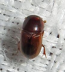 Aphodiine Dung Beetle, possibly Aphodius sp. (Seth Ausubel) Tags: coleoptera scarabaeidae