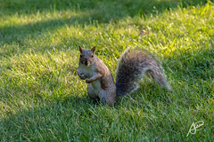 Katagorria (asier.elorza) Tags: nikon d3200 sigma katagorri ardilla squirrel mont royal montral canada