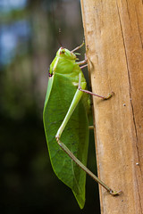 Giant Katydid (Tettigoniidae: Stilpnochlora couloniana) (YM Zhang) Tags: giant katydid tettigoniidae stilpnochlora couloniana orthoptera