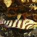 Black-banded sea perch - Hypoplectrodes annulatus