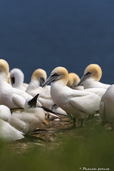 """Tendresse"" Fou de Bassan / Northern gannet (pascaleforest) Tags: fou de bassan oiseau bird colonie bb baby lebonavenure gaspsie rve dream colony"