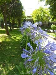 Agapanthus (Paula Luckhurst) Tags: agapanthus flowers purple green gardens braga jardimdosbiscainhos plants