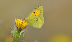 Clouded Yellow (Colias croceus). (Bob Eade) Tags: butterflies cloudedyellow coliascroceus butterfly yellow lepidoptera newhaven eastsussex summer sussex nikond610 nature wildlife macro