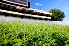 IMG_9715 (UGA College of Ag & Environmental Sciences - OCCS) Tags: grass turfgrass tiff419 419 sanfordstadium privet hedge hedges scoreboard