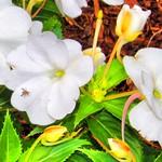 Toronto Ontario ~ Canada ~ Edwards Gardens ~ Botanical Garden ~ Fly on a Petal thumbnail